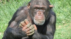 Science Times - Leprosy in Wild Chimpanzees: Detected in Primates with Symptoms Similar to Those in Infected Humans