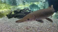 4.5-Foot Alligator Gar Caught in Kansas for the First Time; This  'Living Fossil' Can Be Traced Back Nearly 100 Million Years Ago
