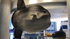 Science Times - 2,000-Kilogram Ocean Sunfish Captured: Marine Biologists Say It's the Largest of Its Kind Ever Caught in the Region