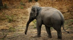 Science Times - Tuskless Elephants: Is These Animals' Tusklessness a Result of the Mozambican Civil War?