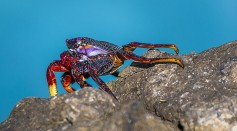 Science Times - Modern-Looking True Crabs Discovered in Tree Amber; Study Reveals This 100 Million-Year-Old Fossil Rewrites Crustacean History
