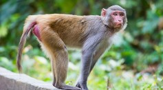 Science Times - Male Infertility Could Be Treated With Monkey Cells; New Study Shows How These Animals Could Help Address the Condition
