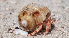 Hermit crabs of Seychelles