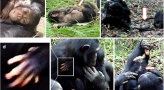 Photos of a chimpanzee mother taking care of her genetically challegned infant