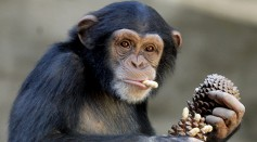 The NIH announced that all government-owned chimpanzees will be retiring in animal sanctuaries