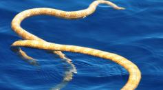 Short Nosed Sea Snake