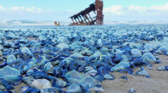 Jellyfish wash up in Australia