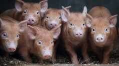 Recently arrived rare breed Tamworth Piglets settle into their new home at the farm at the Lost Gardens of Heligan near St Austell on December 14, 2016 in Cornwall, England.