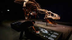 A general view of the skull, jaw, tail, rib cage and teeth of Trix the female T-Rex exhibition at the Naturalis or Natural History Museum of Leiden on October 17, 2016 in Leiden, Netherlands.