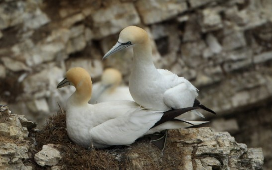 Gannets, one type of the coastal birds, nest at the RSPB's Bempton Cliffs on the East Yorkshire coast in Bempton, United Kingdom.