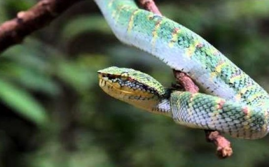 Snake Venom Found To Be Beneficial In Heart Patients