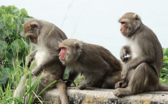 Primate Study Uncovers New Developments for Immunity Against Coronavirus Infection