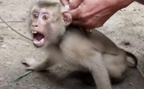monkey slavery for coconuts