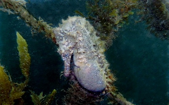 Pregnant Male Seahorse Might Be More the Same With Human Pregnancy Than Previously Thought