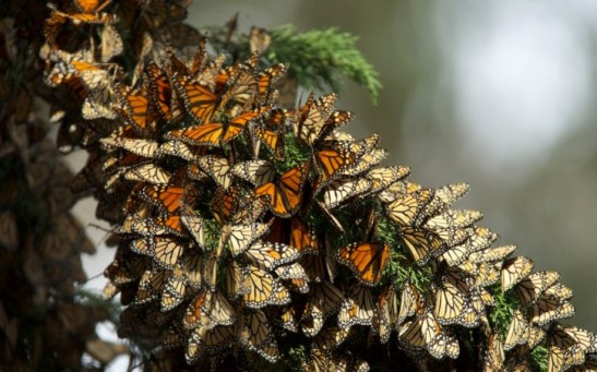 Science Times - Monarch Butterflies' Spectacular Migration Is at Risk – an Ambitious New Plan Aims To Help Save It