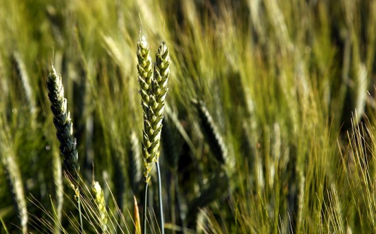 Science Times - New Wheat and Barley Genomes Can Help Feed the World, International Study Reveals