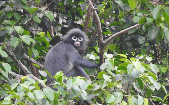 Popa Iangur (Trachypithecus popa) at Mouth Yathae Pyan, Myanmar