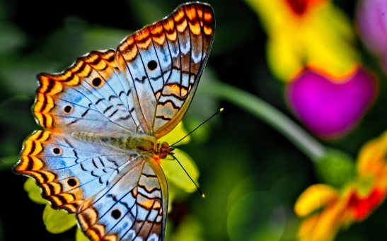On Making Flapping Drones: Understanding How Butterflies Fly Will Be Helpful