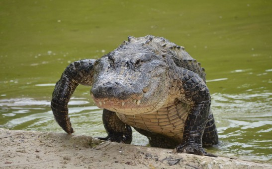 Amorous Alligators In Florida Now More Active and Visible As Mating Season Begins