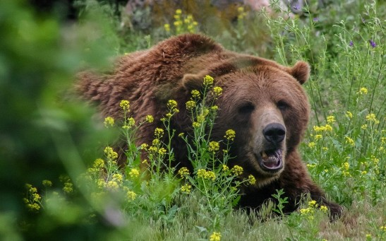 Brown Bears Are More Successful In Mating When They Rub Their Backs On More Trees, Study Finds