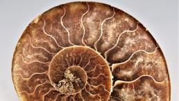 Ammonite in Amber: Among the Rarest Fossil Finds