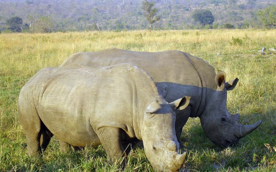 Analysis of the Genomes of Five Living Rhinoceros Species Will Prevent Their Extinction