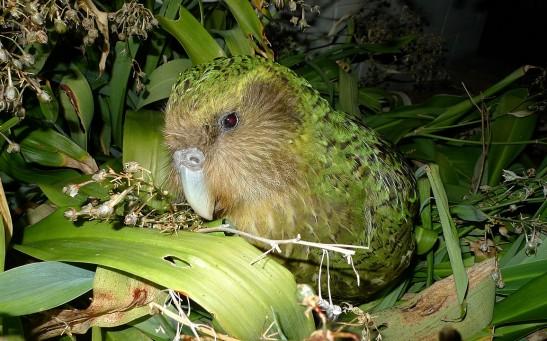 Kakapo Sirocco