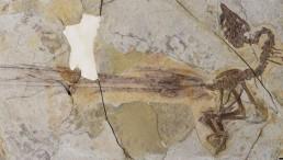 Yuanchuavis kompsosoura holotype