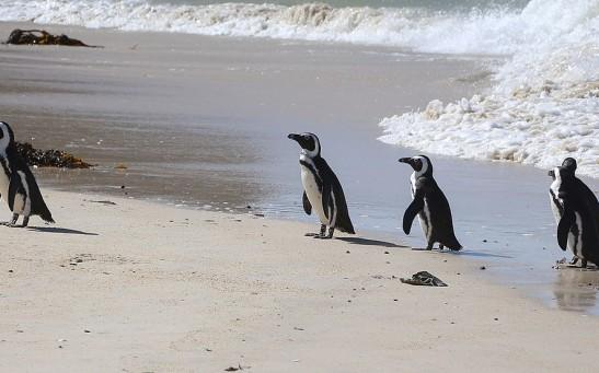 African_penguins_at_Boulders_Beach_01.jpg