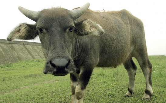 Science Times - Foot-and-Mouth Disease in African Buffalo; New Research Shows Persistence of Highly Infectious Pathogens