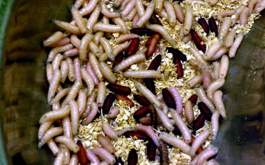 Science Times - Live Maggots Used by the NHS as Antibiotics: Is This an Effective Technique for Cleaning Wounds?
