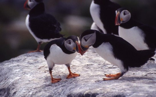 Science Times - Puffins: Maine's Much-Loved Seabirds Experience the Worst Year Ever; Species Severe Warning for Reproduction in Decades